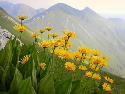 Hegyi árnika (Arnica montana)
